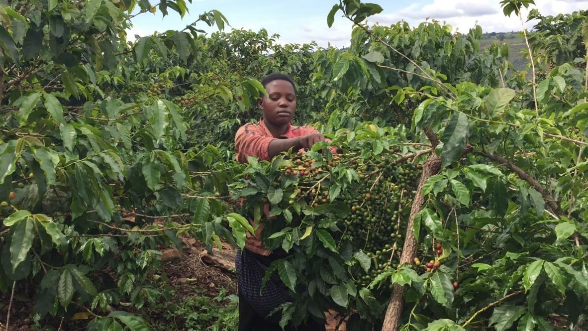Arabica koffie groeit altijd op hoogte