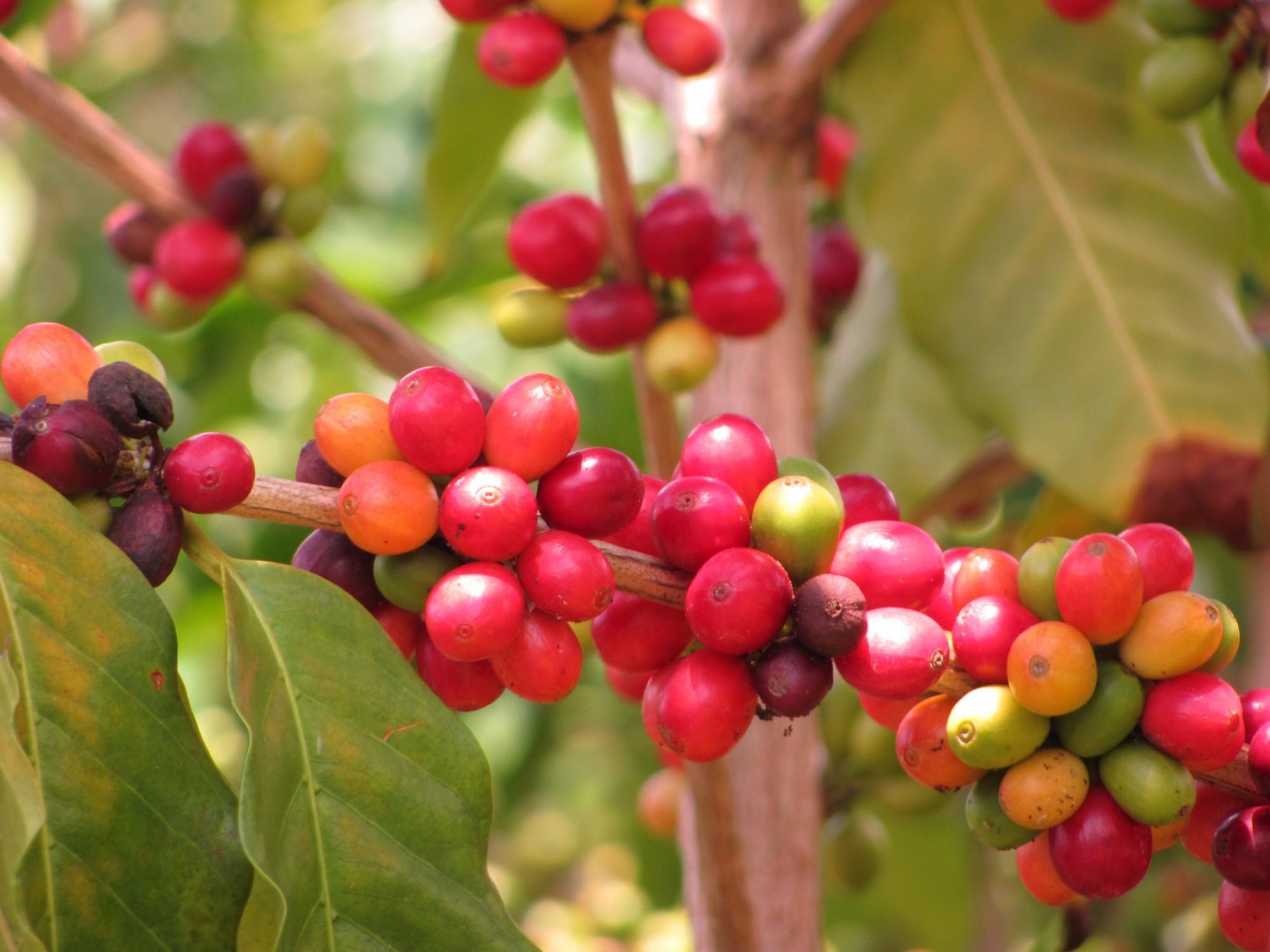 Lees hoe de koffieboom over de wereld is verspreid