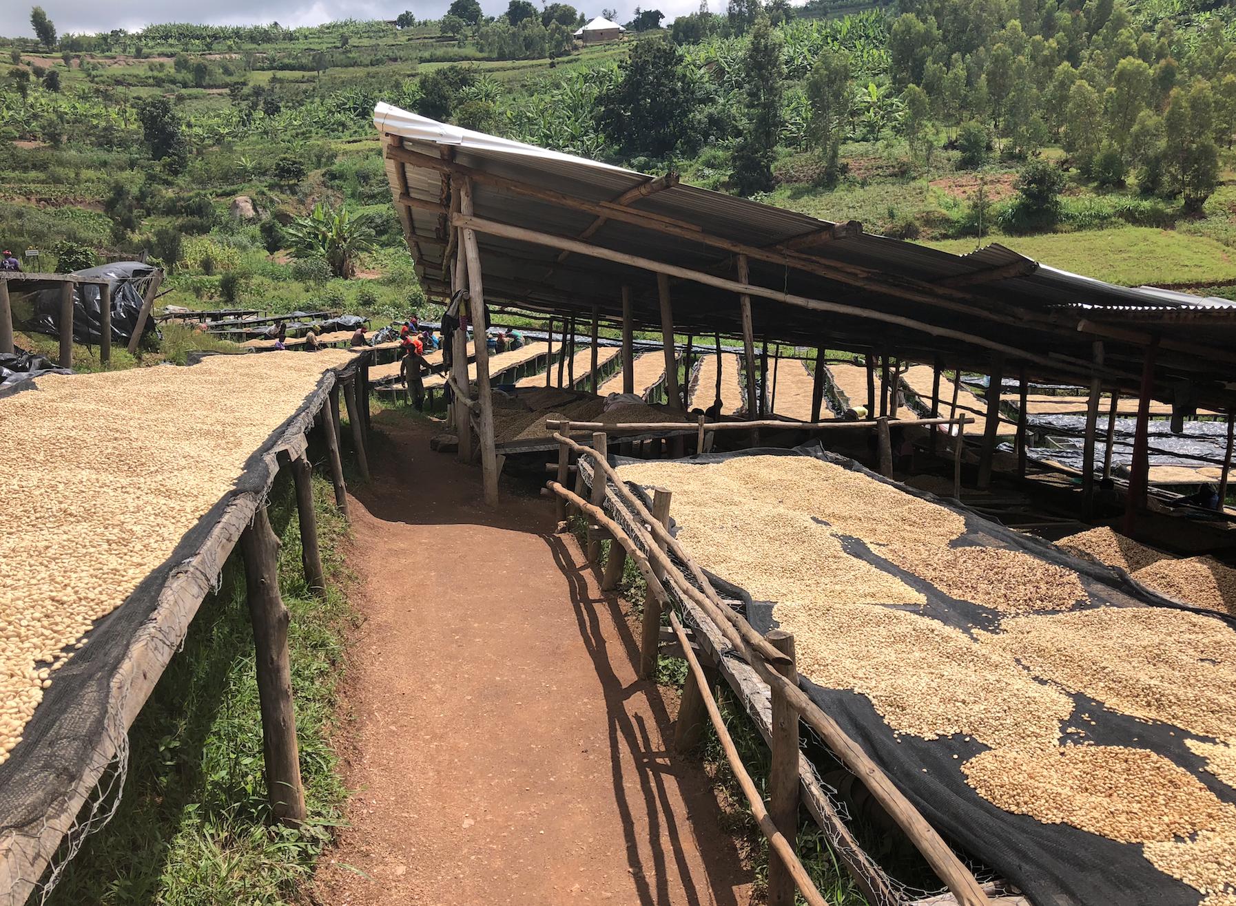 Pure Africa importeert koffiebonen van Sholi uit Rwanda